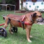 Pies na wózku rehabilitacyjnym