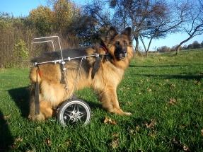 Pies na dużym wózku inwalidzkim