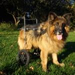 Duży pies na wózku inwalidzkim