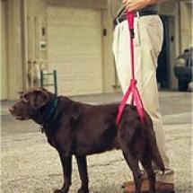 Pies w szelkach rehabilitacyjnych / uprzęży rehabilitacyjnej